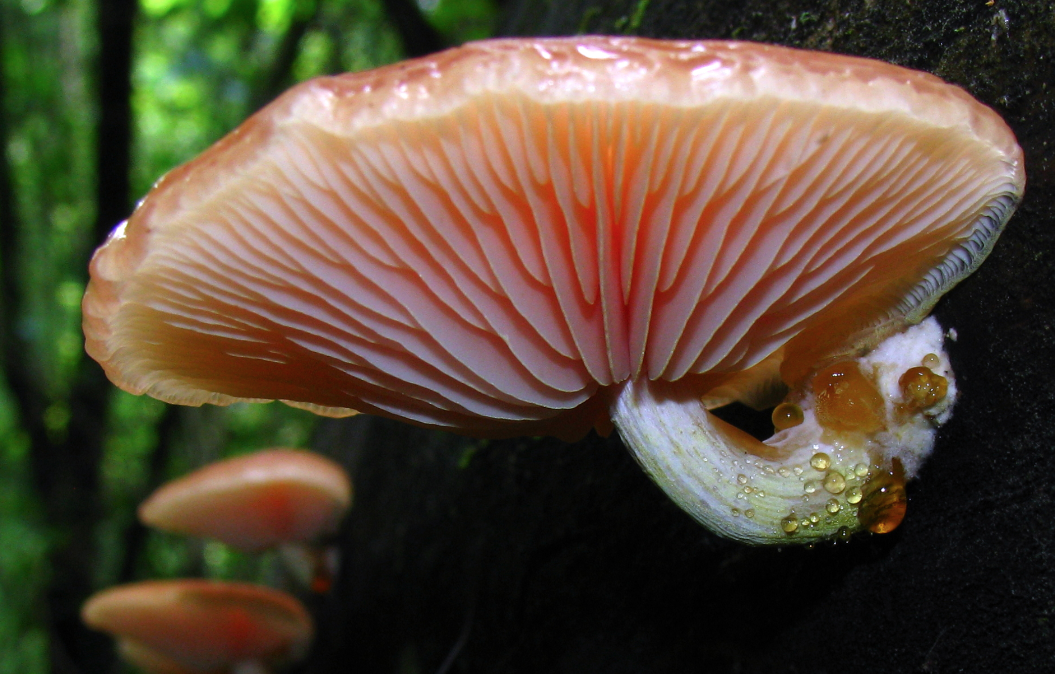 Short gills, called  lamellulae  lie in between full length gills.