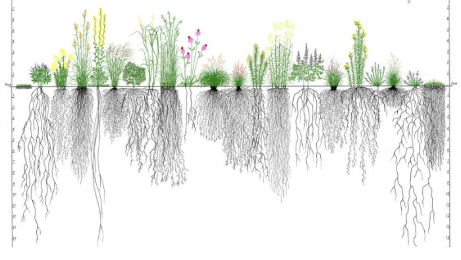 Different roots interact with their soil environment in diverse number of ways. From  Dr. Tohid .