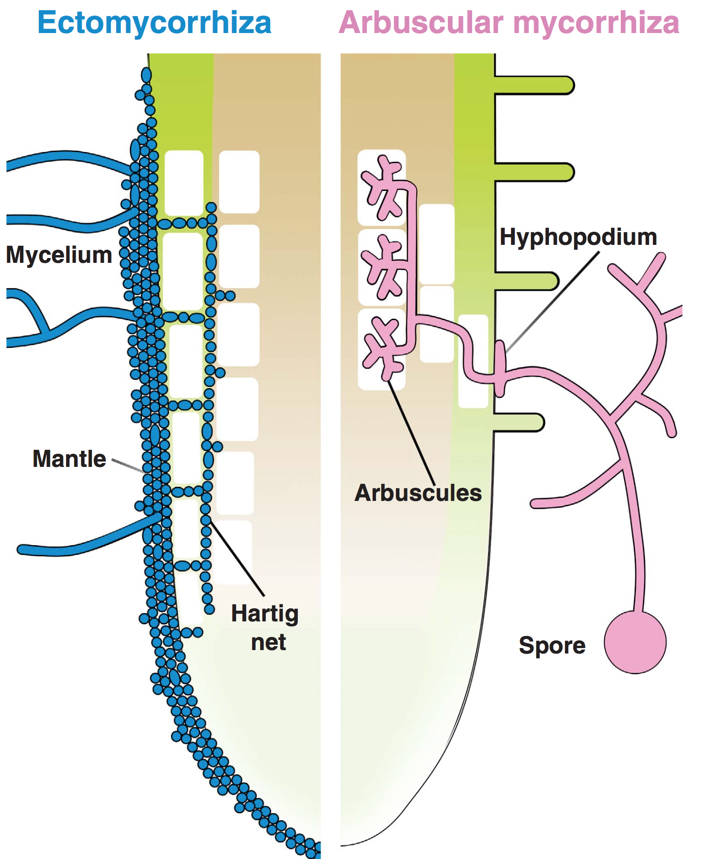 Two mycorrhizal types.  From Bonfante & Genre 2010 .