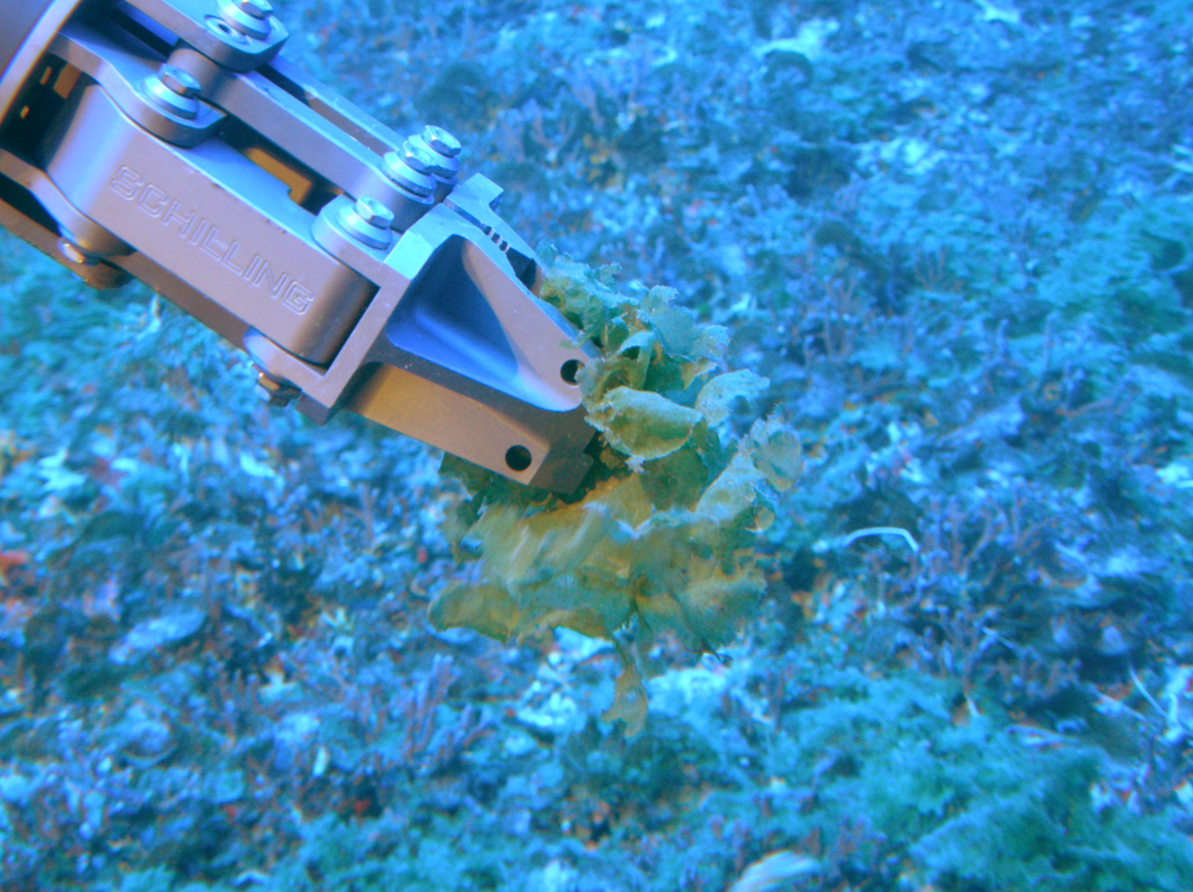 The algae  Microdictyon umbilicatum  being sampled. Wainwright et al. 2017.