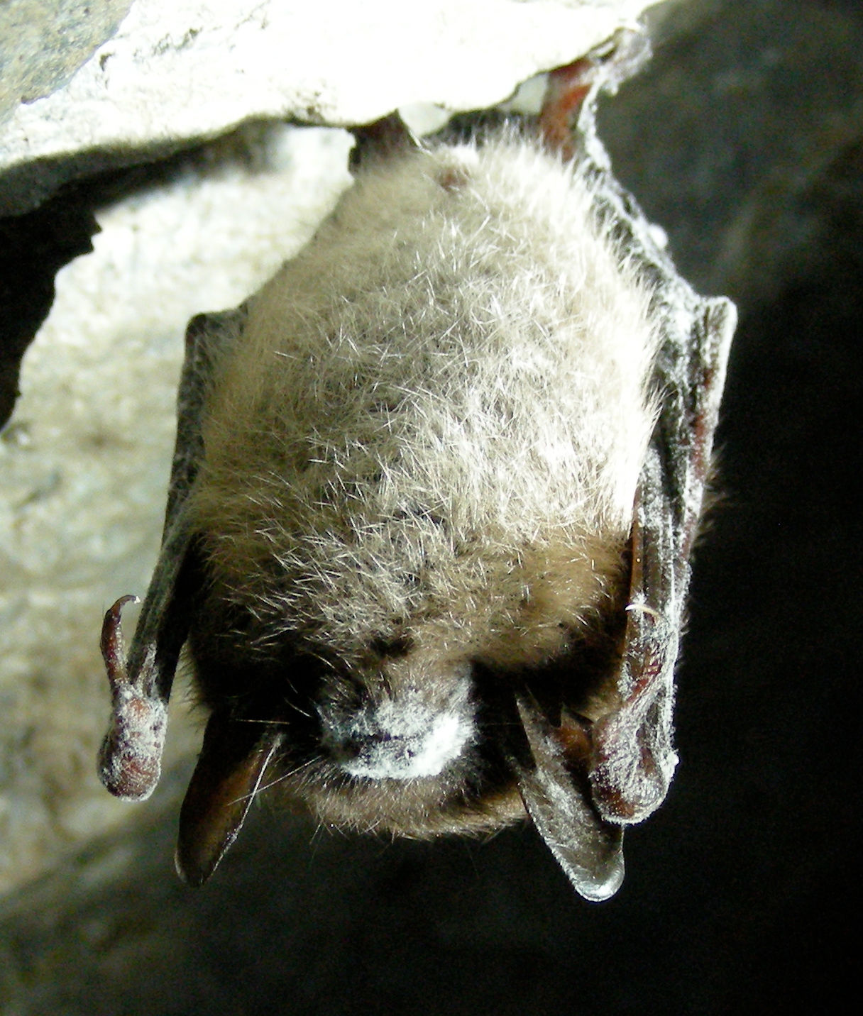 Little brown bat ( Myotis lucifugus ) with  white-nose syndrome .