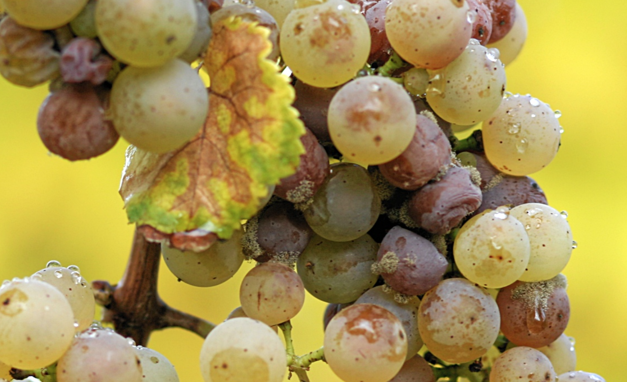 Botrytis cinerea  on Riesling grapes .