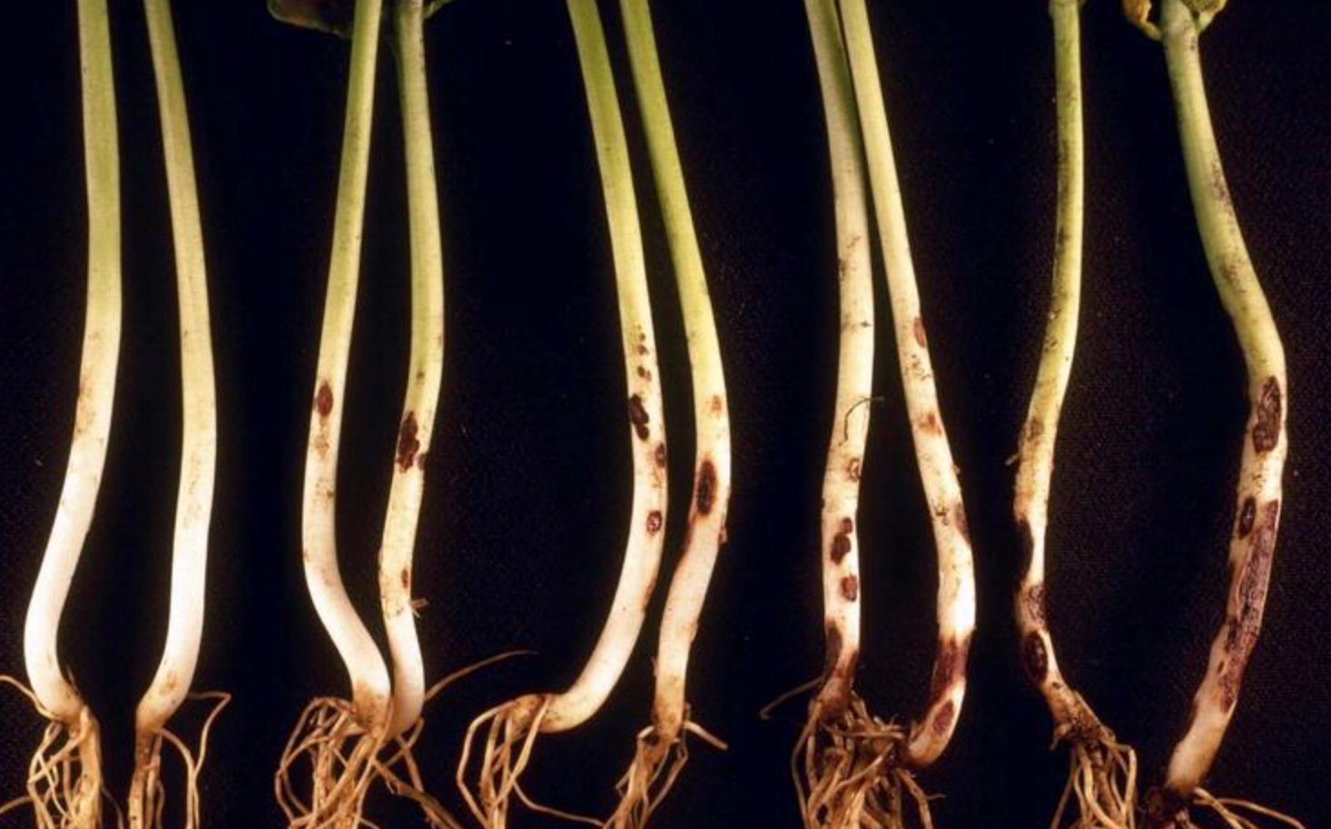 Rhizoctonia  infecting roots and shoots of common bean.
