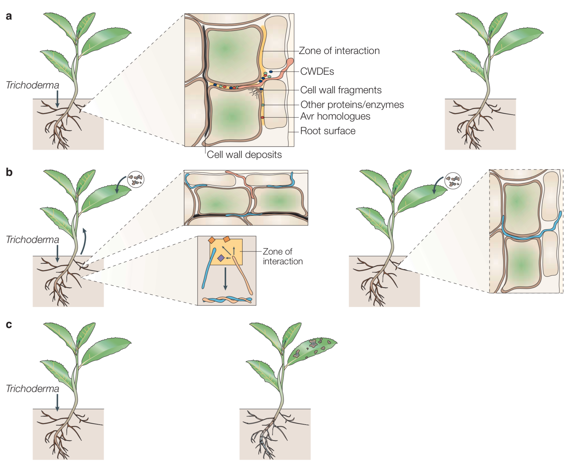 Orange filaments in a.) and b.) represent  Trichoderma  sp. within plant roots. Blue filaments represent fungal pathogens. When invaded by  Trichoderma  sp. the plant responds by creating cell-wall deposits (black squiggles) which limits  Trichoderma  and pathogen growth. The first plant in panel c.) represents a healthy, disease resistant plant with  Trichoderma  sp. present while the second individual represents a disease ridden, less fit plant without the fungal mutualist. Harman et al. 2004 .