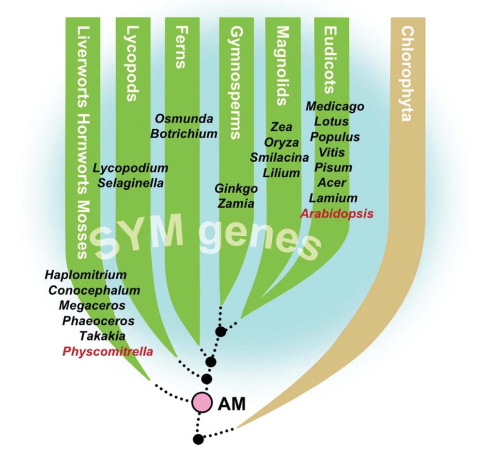 Symbiotic genes associated with the most ancient lineages of land plants. Bonfante & Genre 2010 .