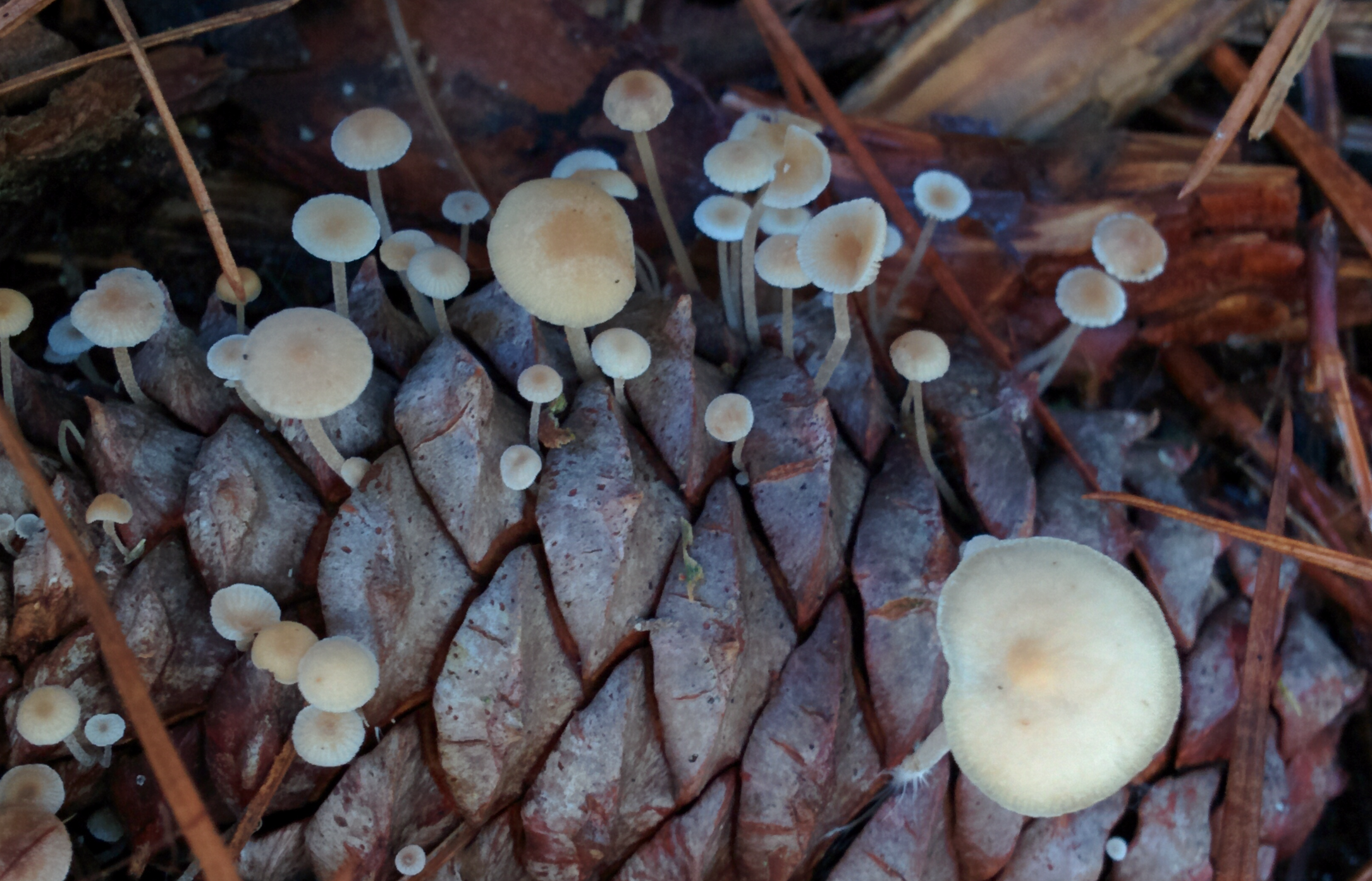 The specialized  Baeospora myosura  fruiting out of a pine cone.