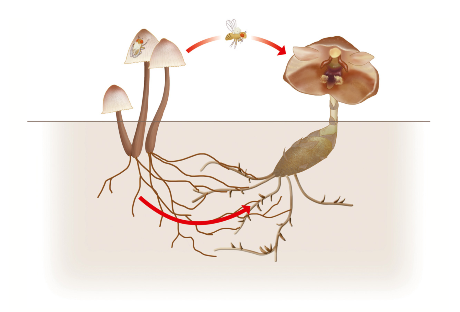 Mycena species facilitate orchid pollination.   Suetsugu 2018 .