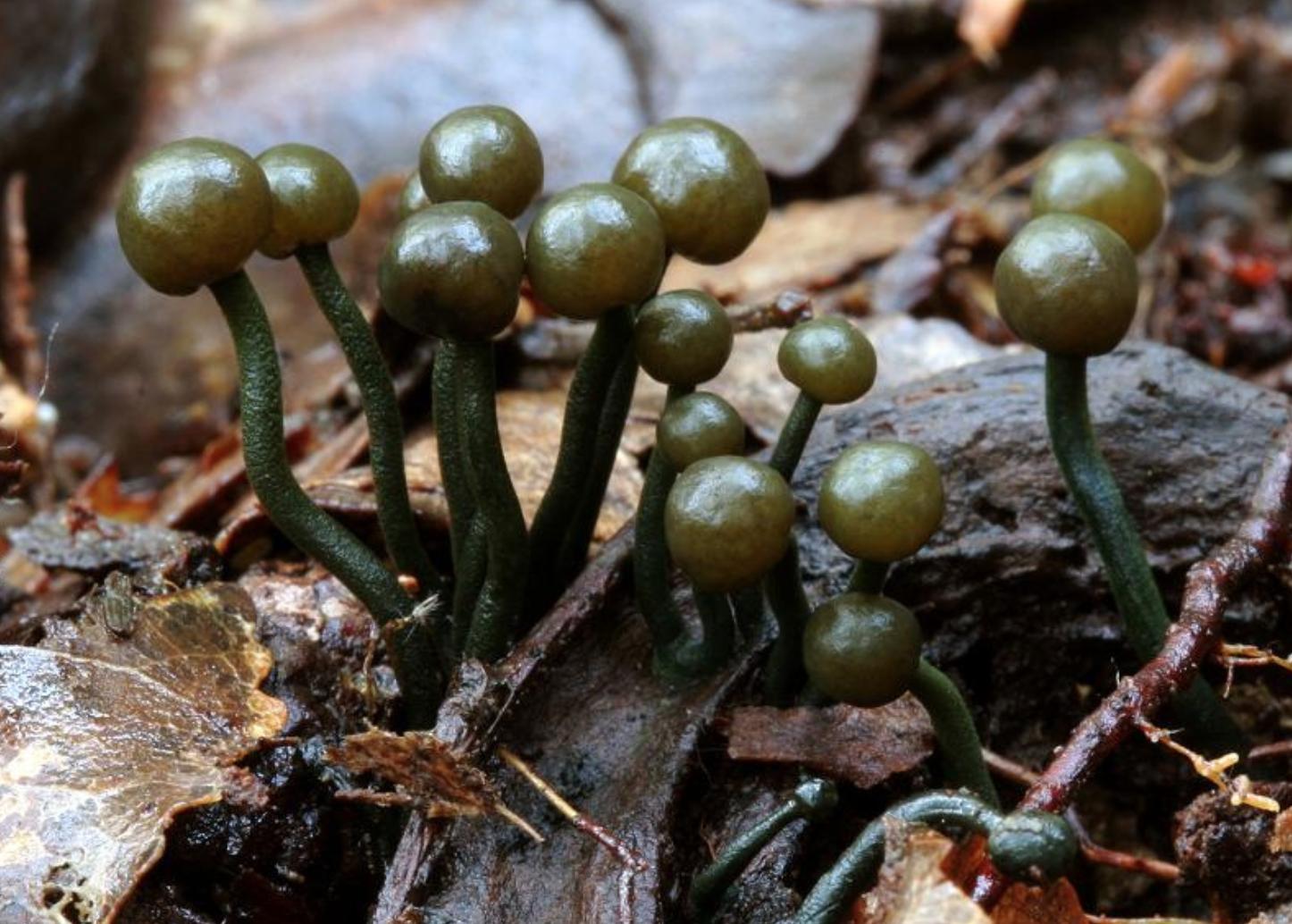 Chlorovibrissea phialophora in NZ. Photo by  Clive .