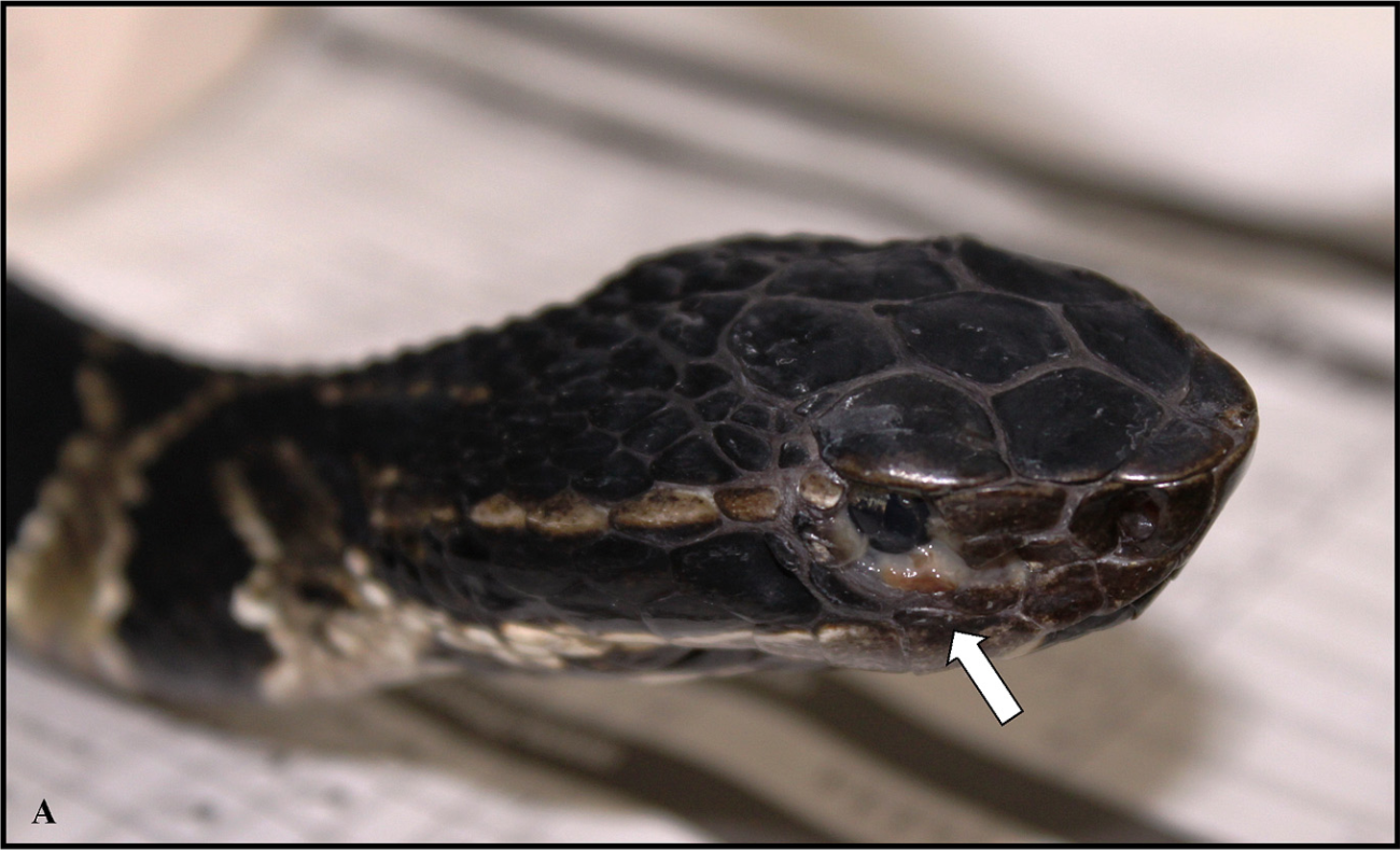 A cottonmouth ( Agkistrodon piscivorous ) with the snake fungal disease spreading under its eye.    Allender et al. 2015 .
