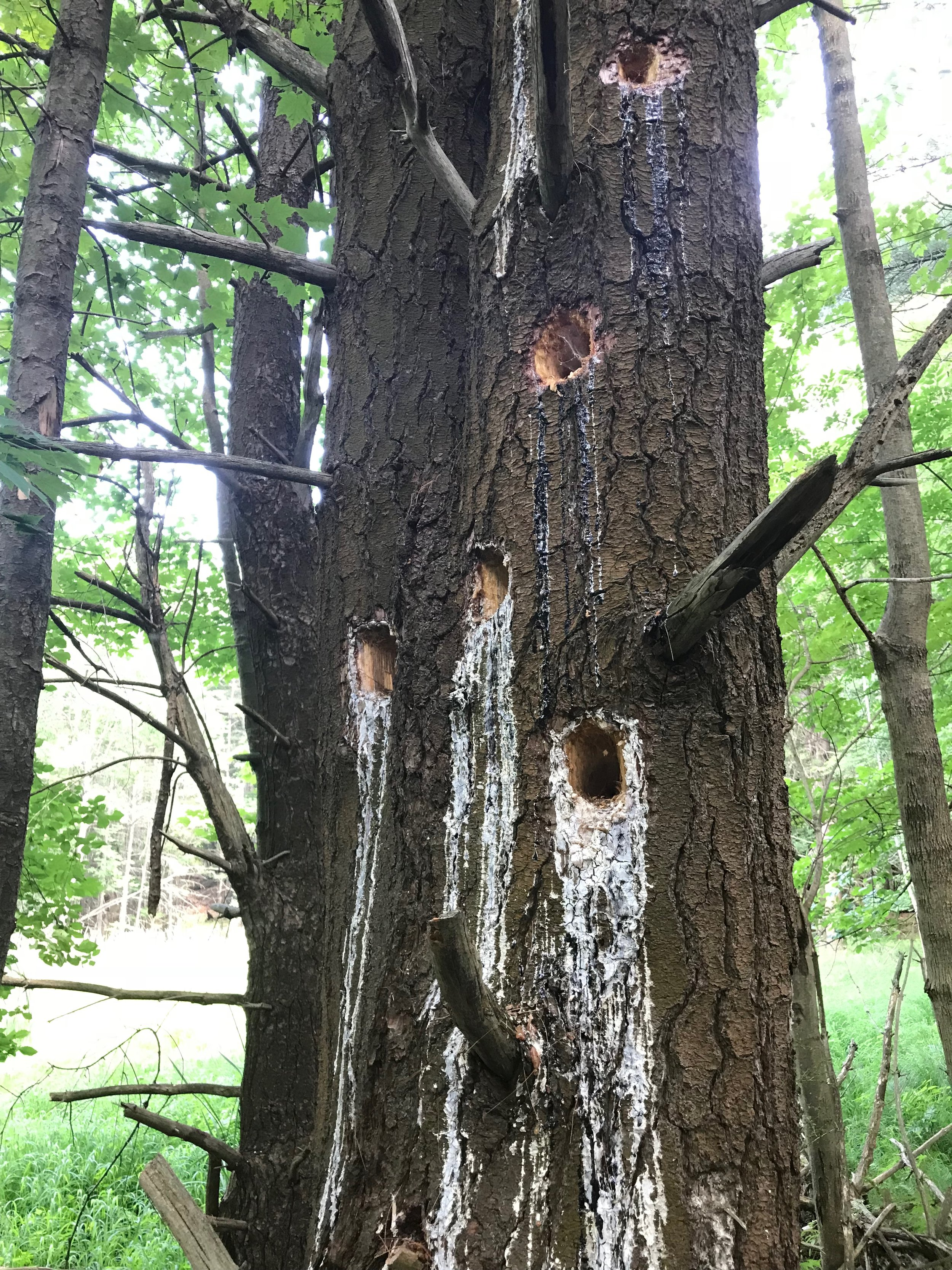 Fresh woodpecker wounds.