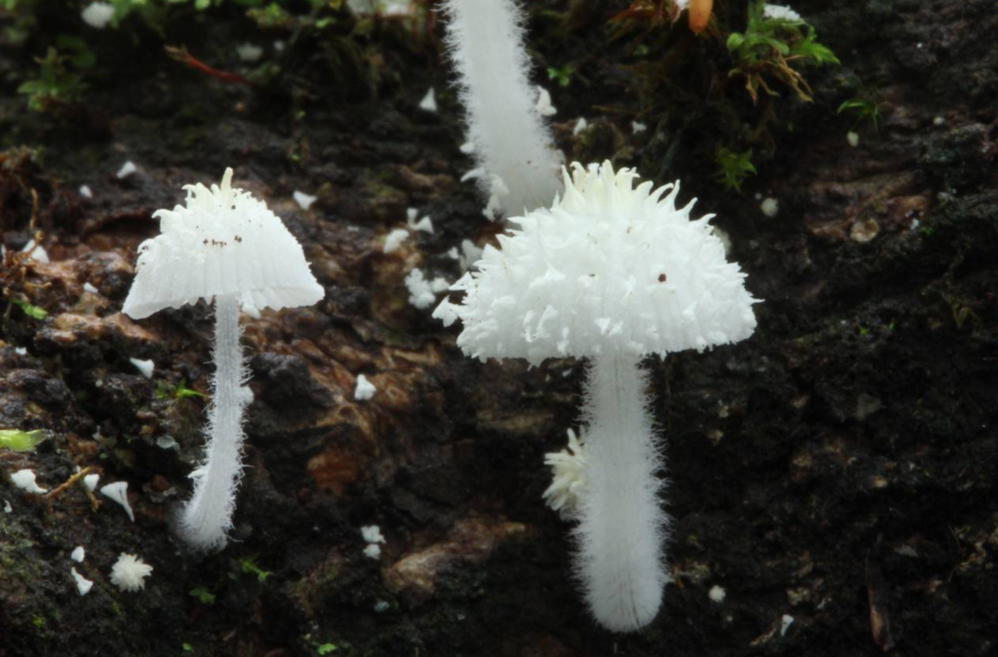 Amparoina spinosissima  found in Mexico by  Alan Rockefeller .