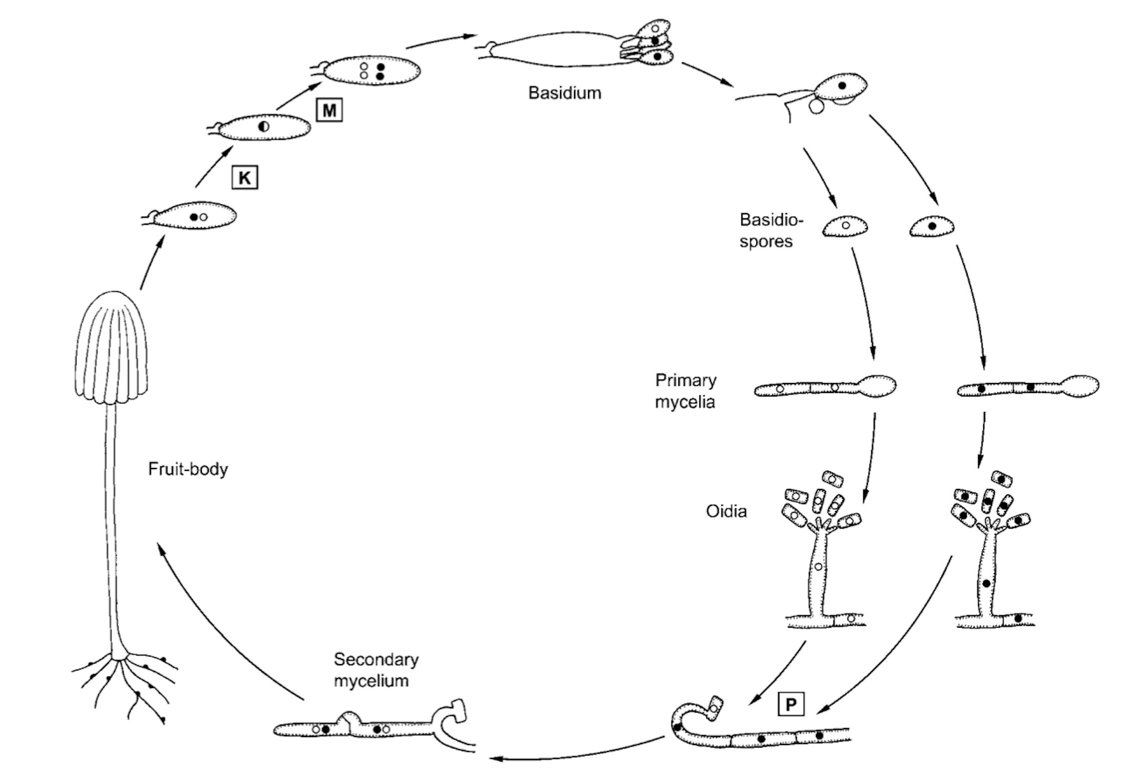 Basic life cycle within the Basidiomycota.