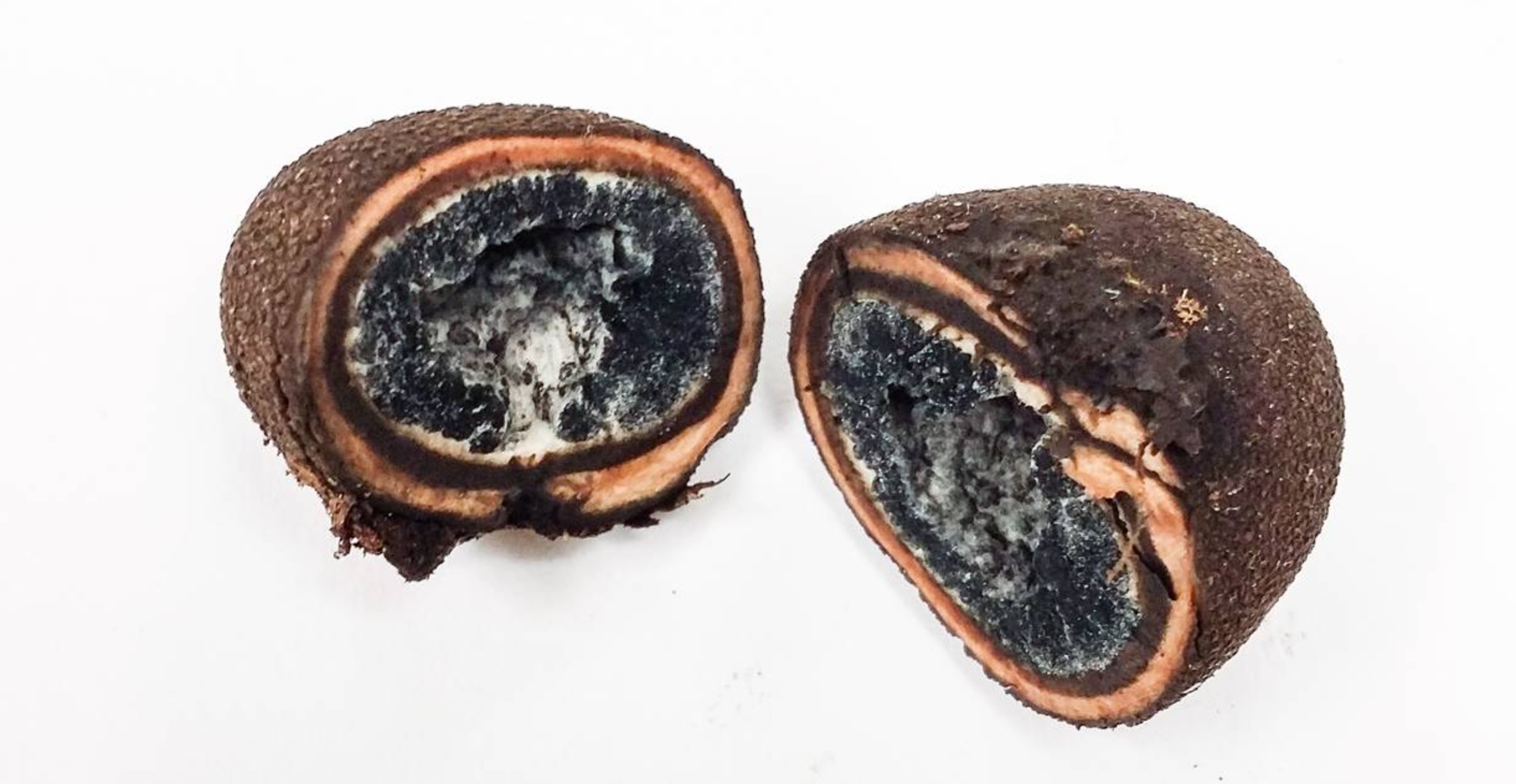 A mature specimen of the false truffle, Elaphomyces muricatus.  Younger specimens have a central spore mass that is whiter, turning black and powdery with age. By  Danny Newman .