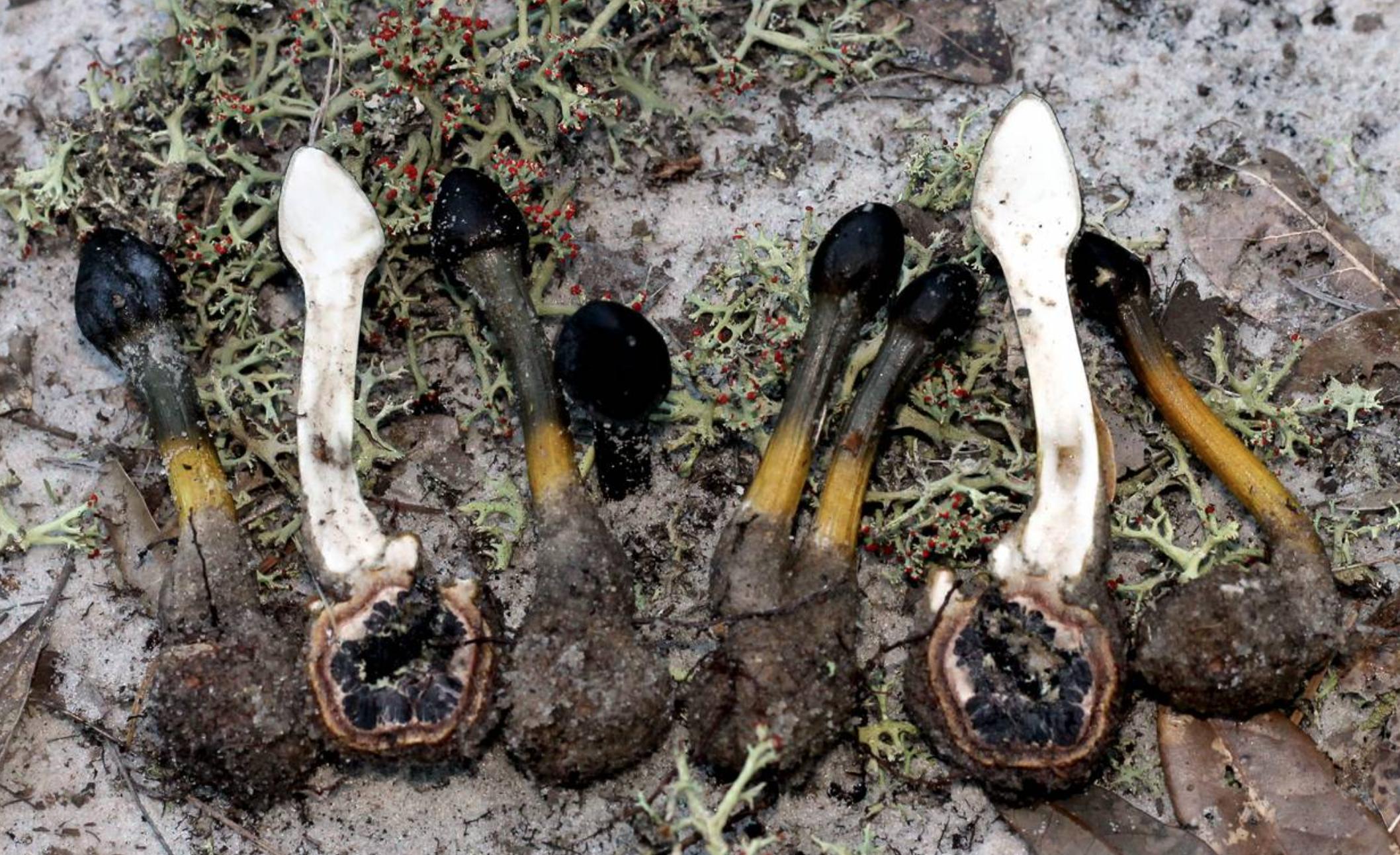 Cross section of the myco parasite  Elaphocordyceps capitata  and its unfortunate host  Elaphomyces muricatus . By  Richard Kneal .