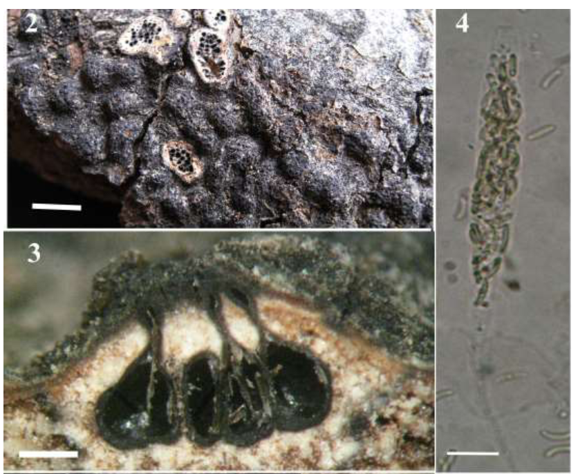 A new species of  Diatrypella  found in Iran.  Mehrabi et al. 2015 .