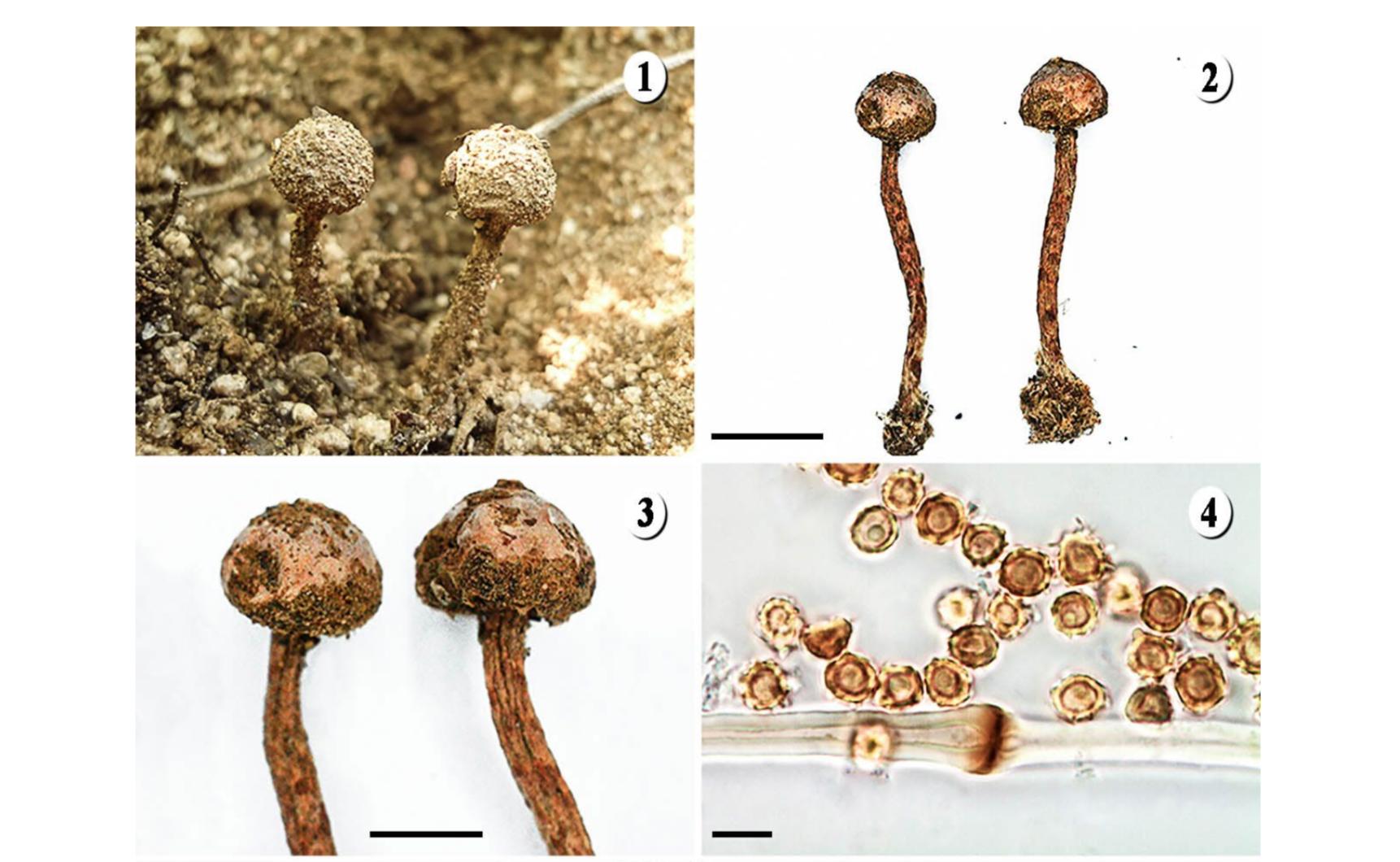 Newly described  Tulostoma rufescens.   Hernández-Navarro et al. 2018 .