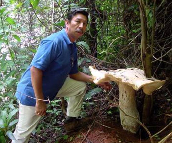 Macrocybe titans   Copyright © 2007 El Colegio de la Frontera Sur (Ecosur)