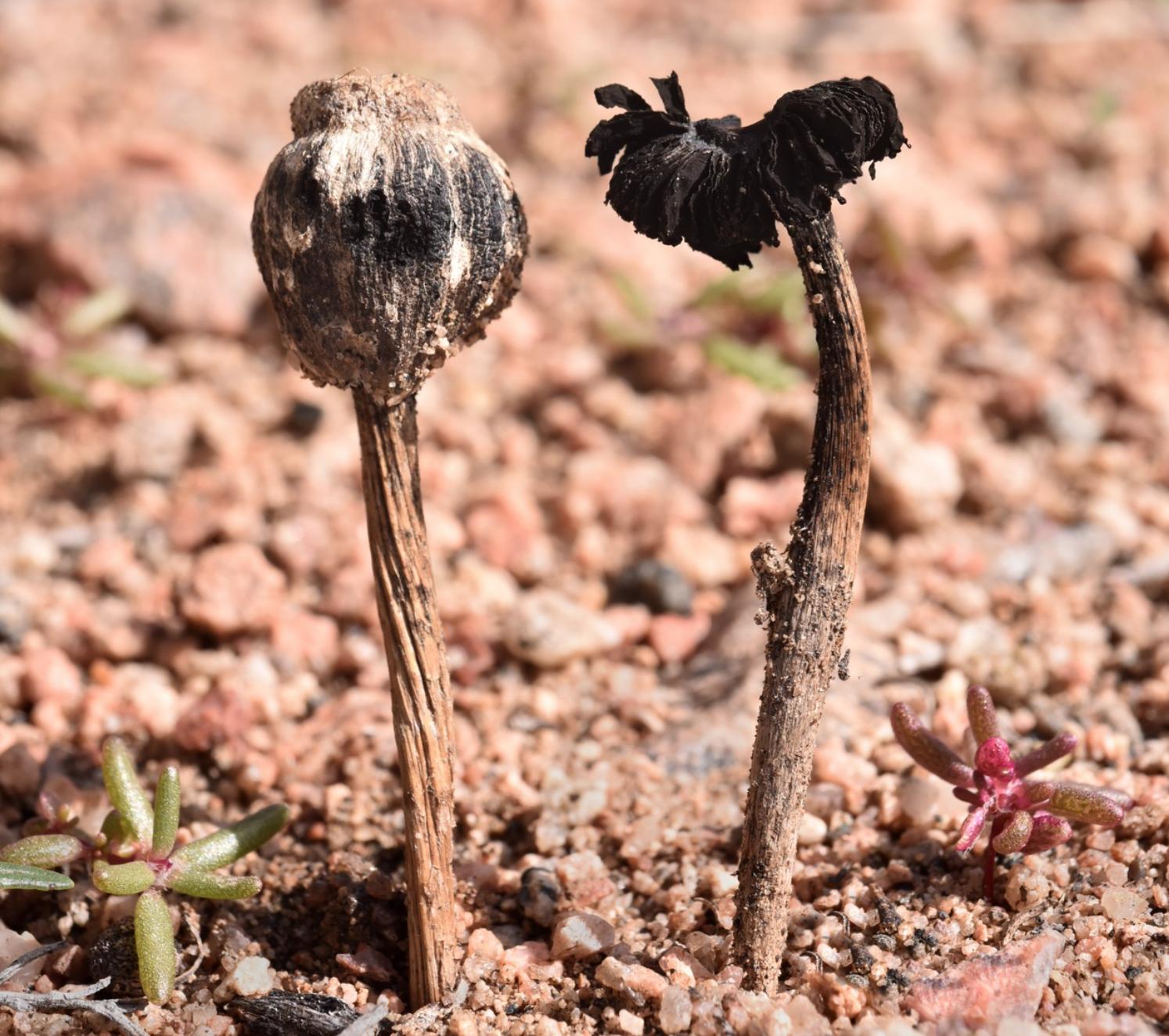 Montagnea arenaria  found in New Mexico by  Alan Rockefeller .