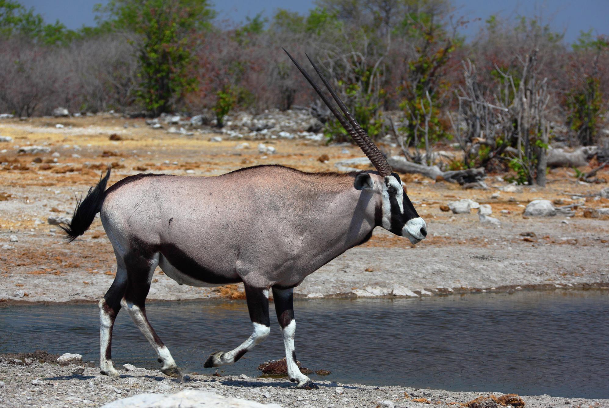 Desert adapted Oryx.