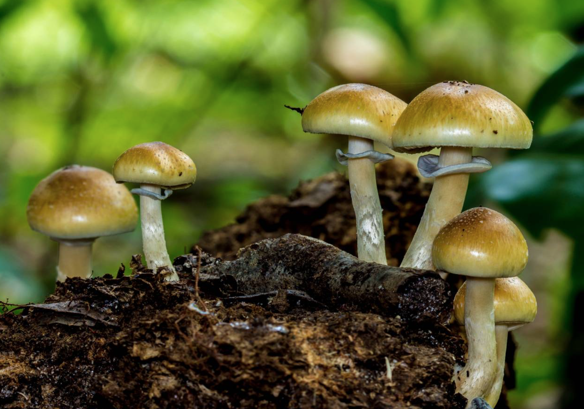 Psilocybe cubensis.      Photo by  Justin (Tmethyl) .