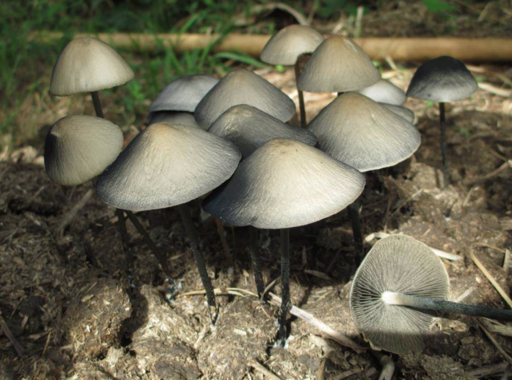 Panaeolus cyanescens . Photo by  Andrew Heath .