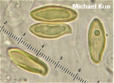 Picture of this species giant spores. From  Michael Kuo.