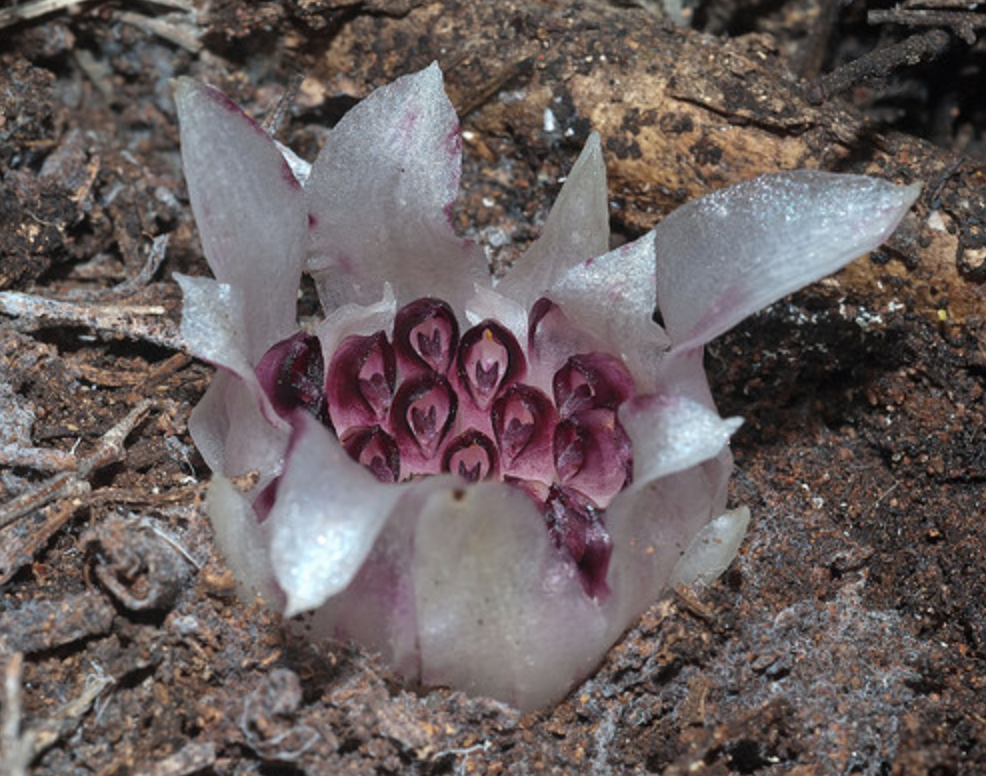 Rhizanthella gardneri.