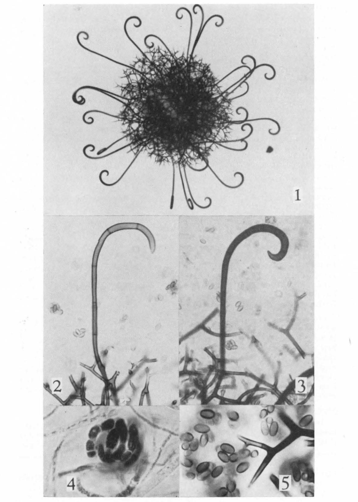 Myxotrichum chartarum.   R. K. Benjamin 1956 .