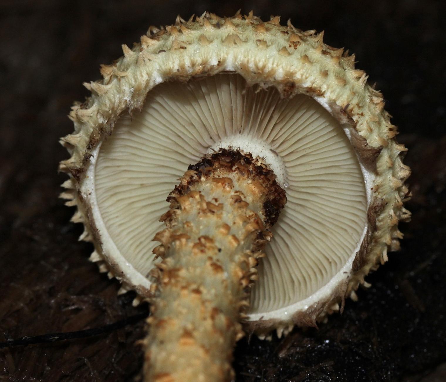 Pholiota squarrosa  found in Wisconsin by    Andrew Khitsun  .