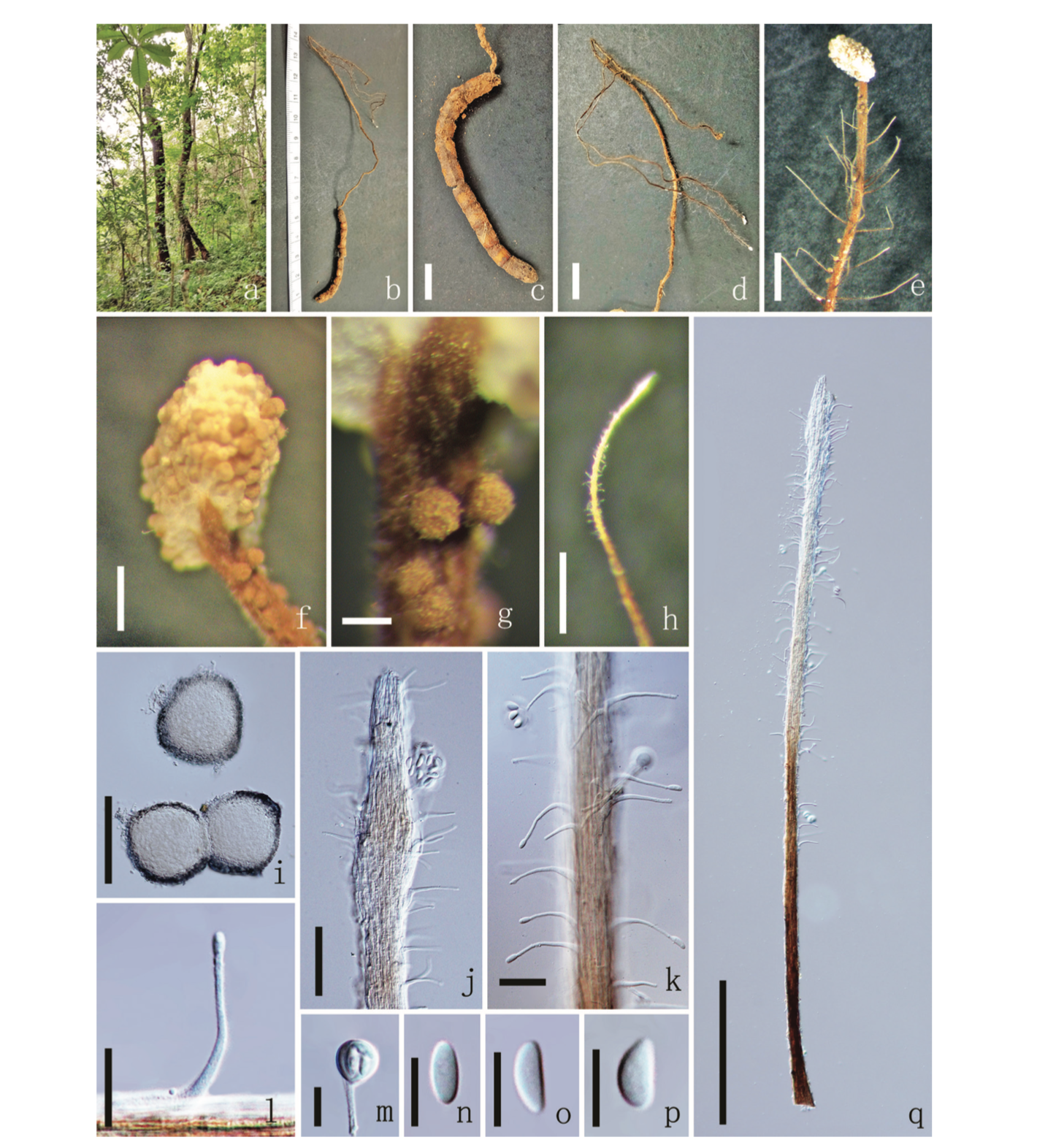 Ophiocordyceps sporangifera   a  Habitat  b  Synnemata on host surface  c  Host  d, e Synnemata  f  Fertile head of primary synnema  g  Sporangium  h  Secondary synnema  i  Sporangium  j, k, q  Part of secondary synnema  l  Phialides  m  Conidia bound by deliquescing mucilaginous material  n–p  Conidia. Scale bars: 1 cm ( c, d ), 1000 µm ( e ), 200 µm ( f, h, q ), 100 µm ( g, i ), 50 µm ( j ), 20 µm ( k, l ), 10 µm ( m–p ).  From Xiao et al. 2019 .