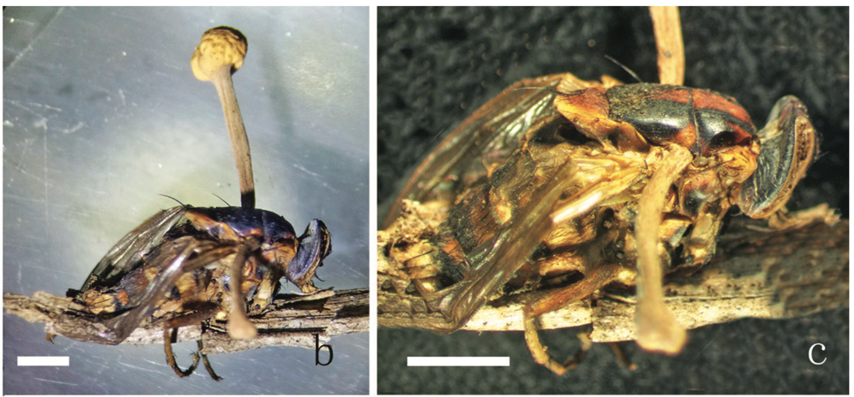 Zoomed in Dipteran fly parasitized by  Ophiocordyceps globiceps .   From Xiao et al. 2019 .