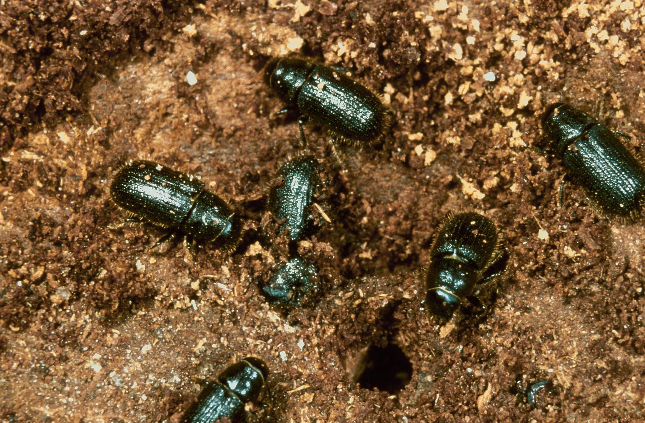 spruce Beetles