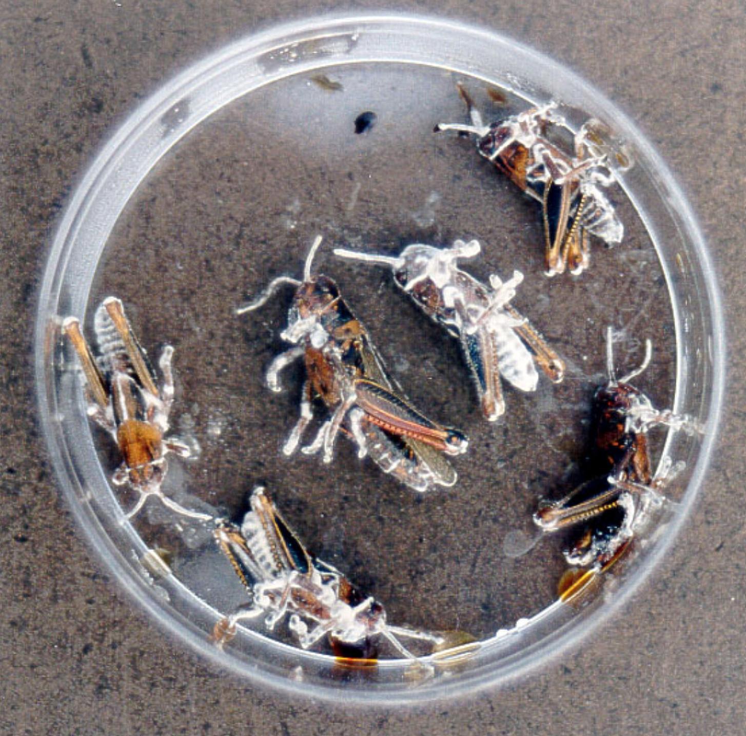 Beauveria bassiana  infected crickets.