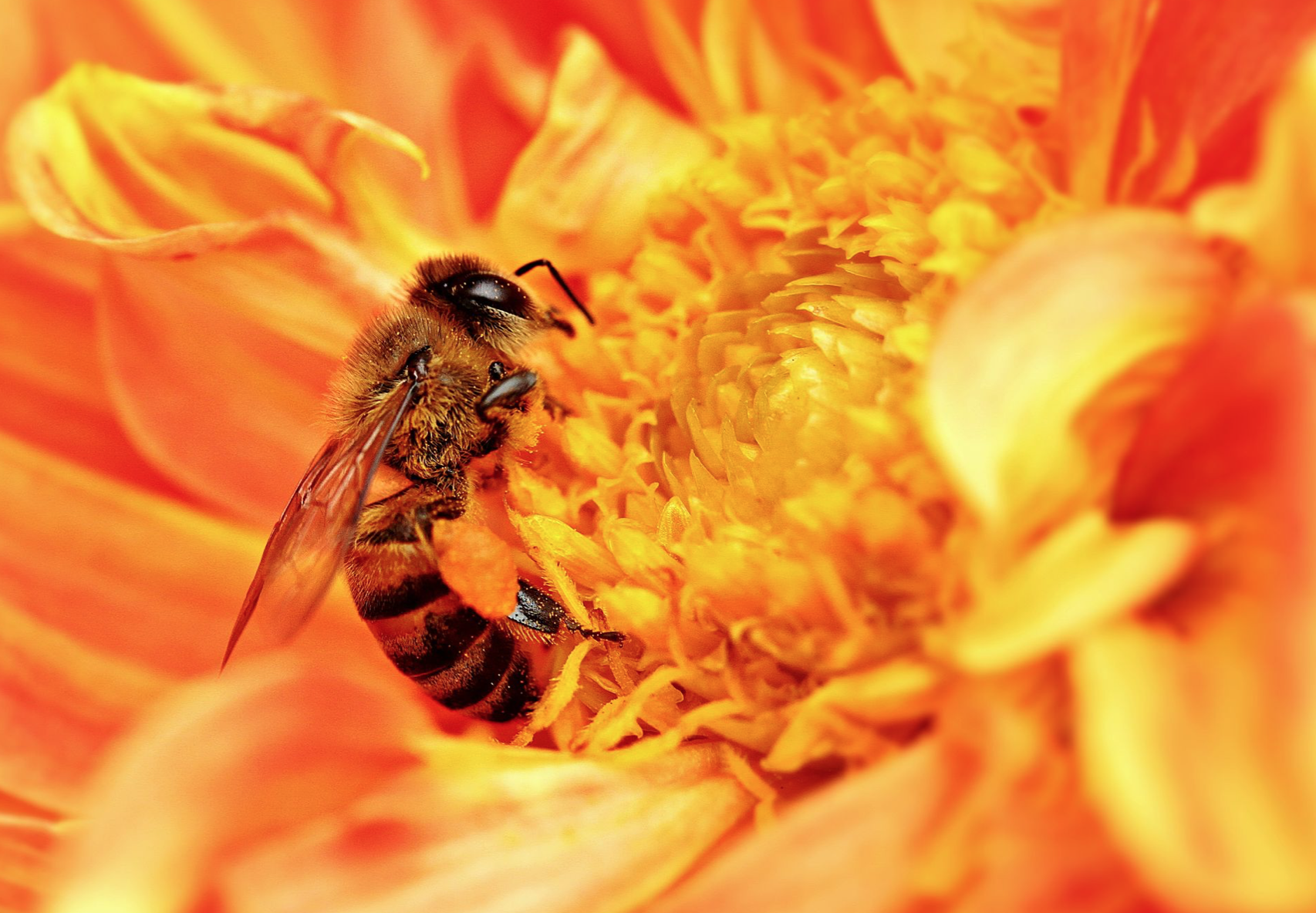 An African honey bee
