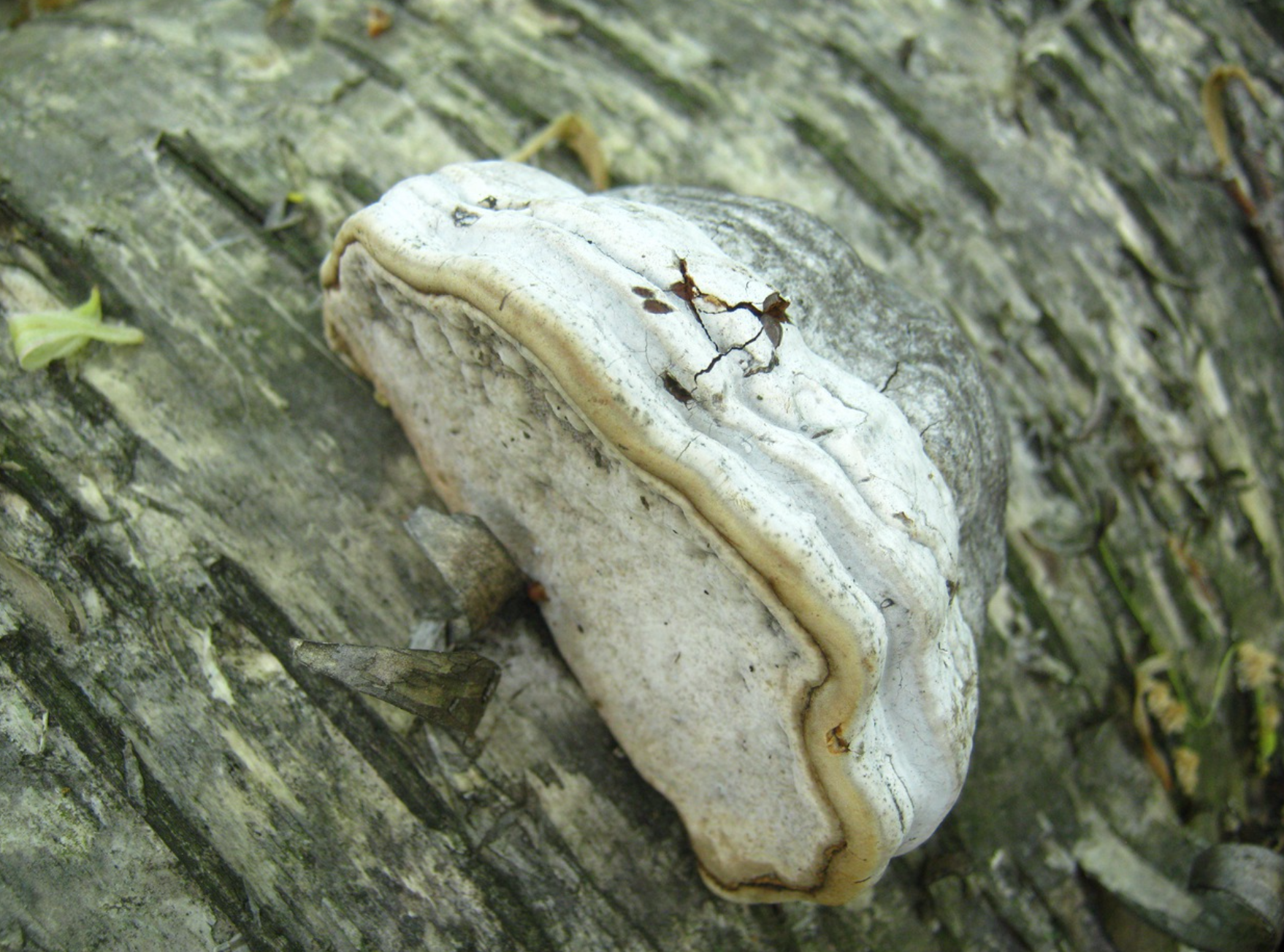 Fomes fomentarius growing from a birch log. Photo by  Paul Derbyshire .