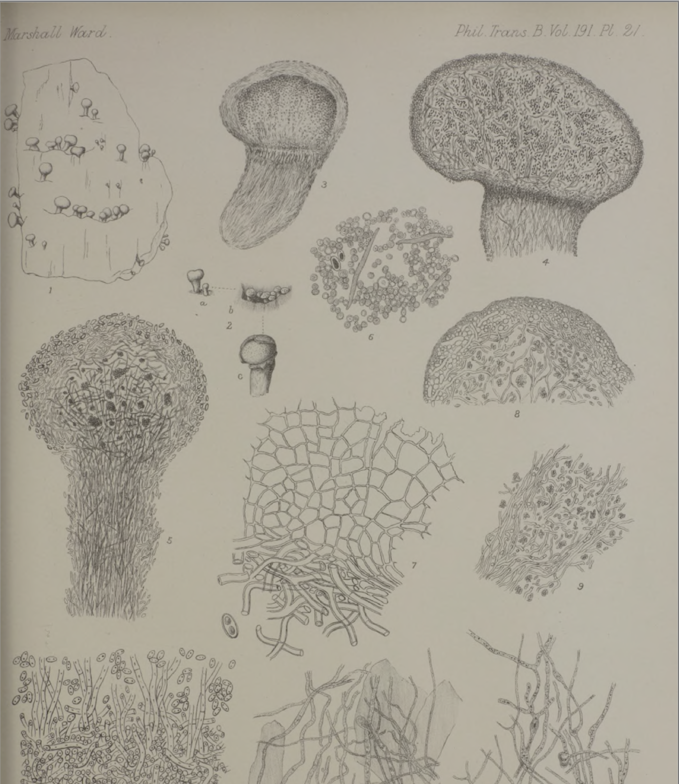 Some of  Ward's drawings published in 1899 .