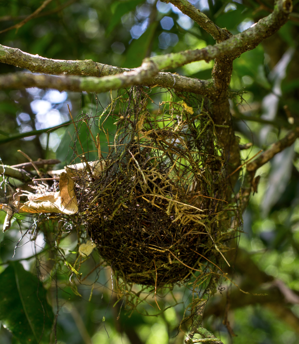 A tropical birds nest mainly comprised of marasmioid rhizomorphs. Found in Misiones, Argentina by  Danny Newman .