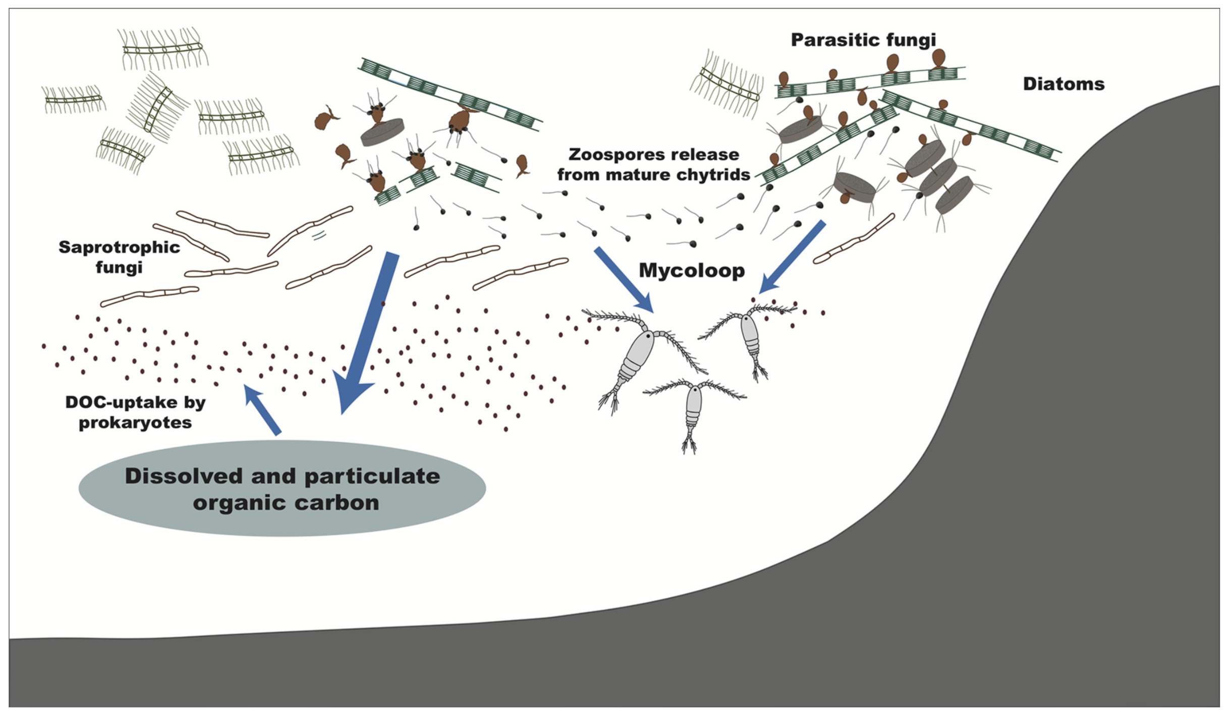 Roles of fungi in the marine carbon cycle by processing phytoplankton-derived organic matter. Parasitic fungi, as well as saprotrophic fungi, directly assimilate phytoplankton organic carbon. By releasing zoospores, the fungi bridge the trophic linkage to zooplankton, known as the mycoloop. By modifying the particulate and dissolved organic carbon, they can affect bacteria and the microbial loop. These processes may modify marine snow chemical composition and the subsequent functioning of the biological carbon pump.  Amend et al. 2019.