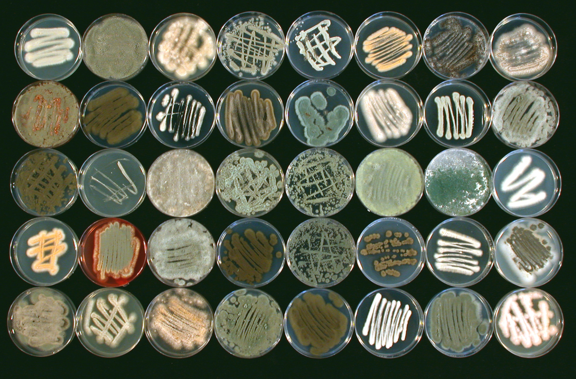 Fungal collection isolated from a marine sponge,  Ircinia variabilis.   Amend et al. 2019.