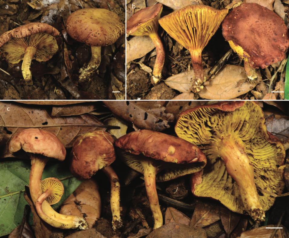 Phylloporus rimosus  (a, b) and  Phylloporus quercophilus  (c).  Montoya et. al 2019 .
