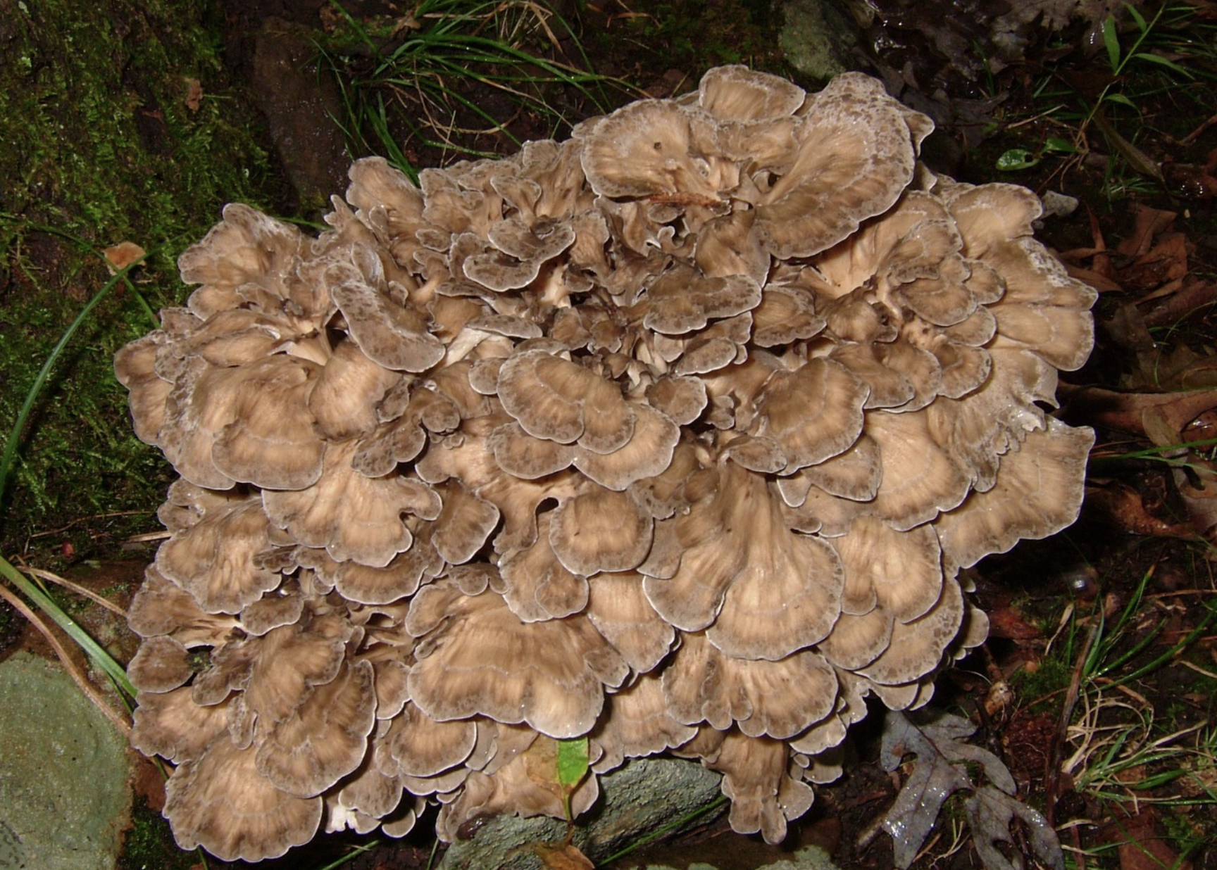 Grifola frondosa , also known as hen of the woods or maitake. Photo by  I. G. Safonov .