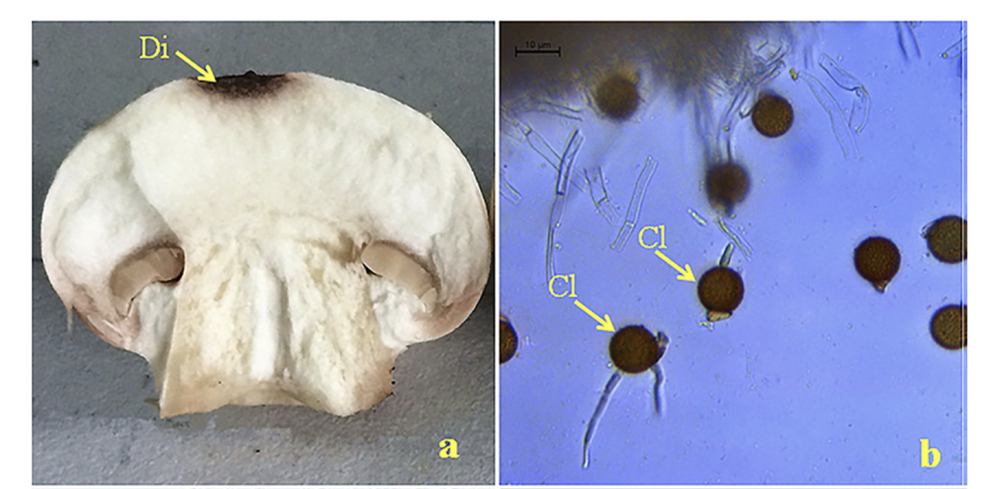 a.) Hypomyces perniciosus on Agaricus bisporus at 3 days. b.) A germinated chlamydospore ofH. pernicious. From  Zhang et. al 2017 .