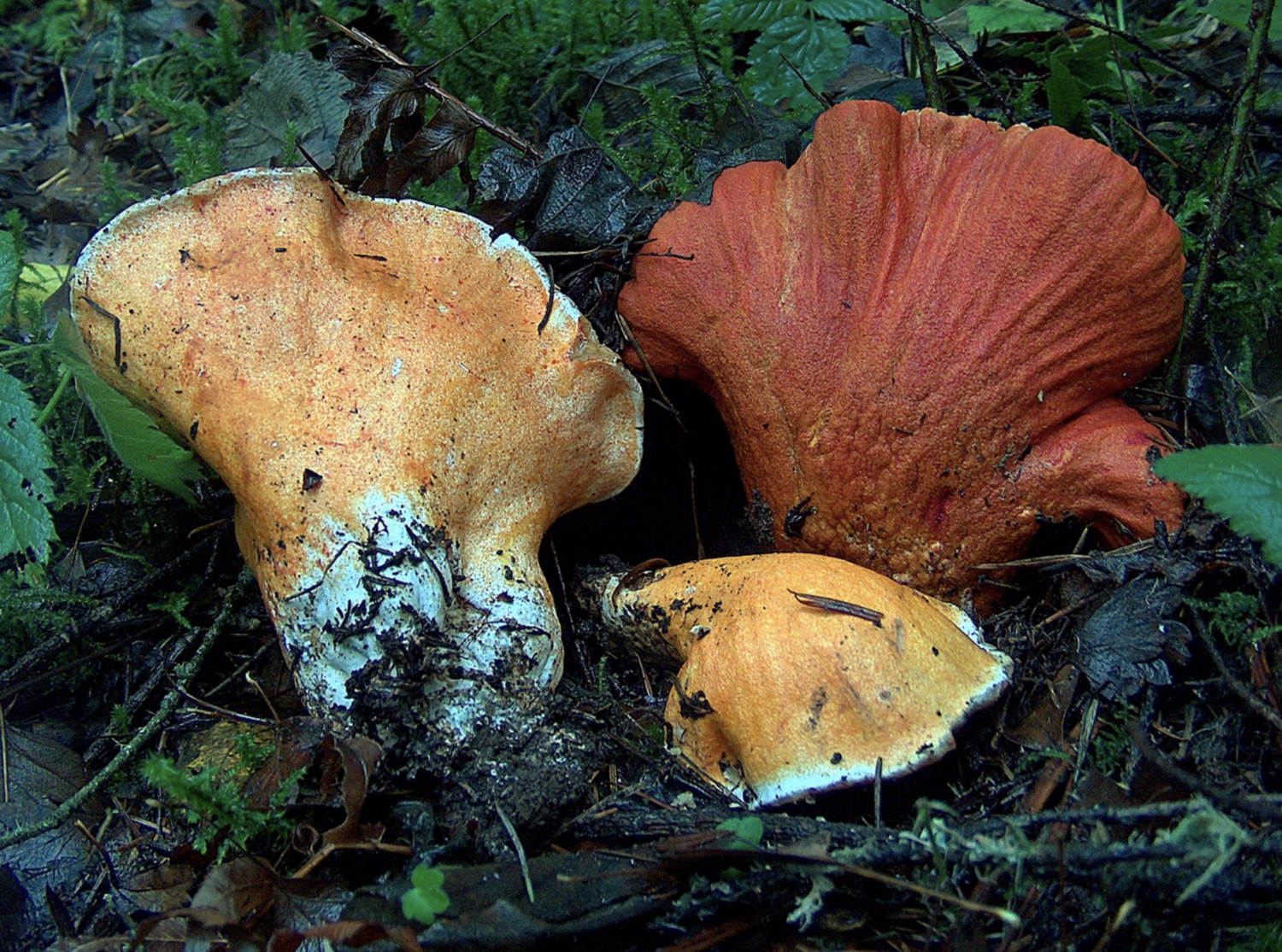 The most widely known species of  Hypomyces :  Hypomyces lactifluorum . Photo by  Britney Ramsey .