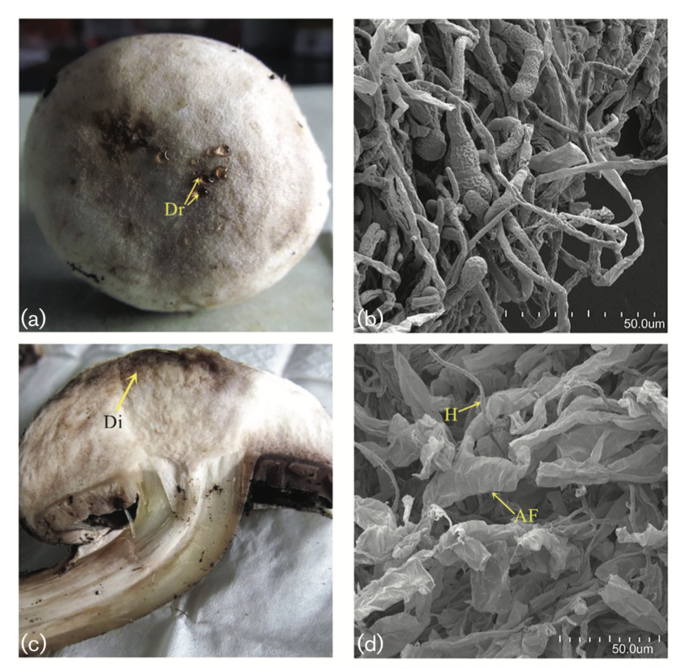 Parasitism after 12 days. (a) Inoculated  H. perniciosus  on the surface of an  A. bisporus ; some droplets were produced. (b) Scanning electron micrographs of  H. perniciosus  covering A. bisporus. (c) Central part of an A. bisporus which had turned brown. (d) Scanning electron micrographs of the central part of  A. bisporus  filled with  H. perniciosus  and mycelium of  A. bisporus  showing hydropic degeneration. From  Zhang et. al 2017 .