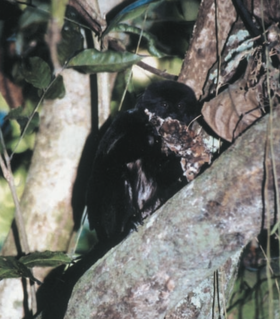 A wild Goeldi's monkey consuming an extremely large, dried specimen of  Auricularia auricula  in northwestern Bolivia.  From Hanson et. al 2003 .