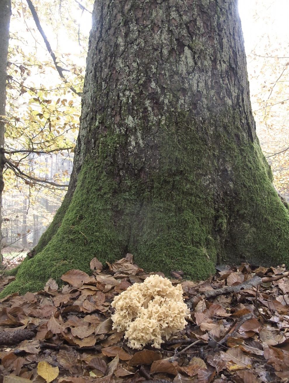 Sparassis crispa  feeding on hardwood roots. Photo by  Sporulator .