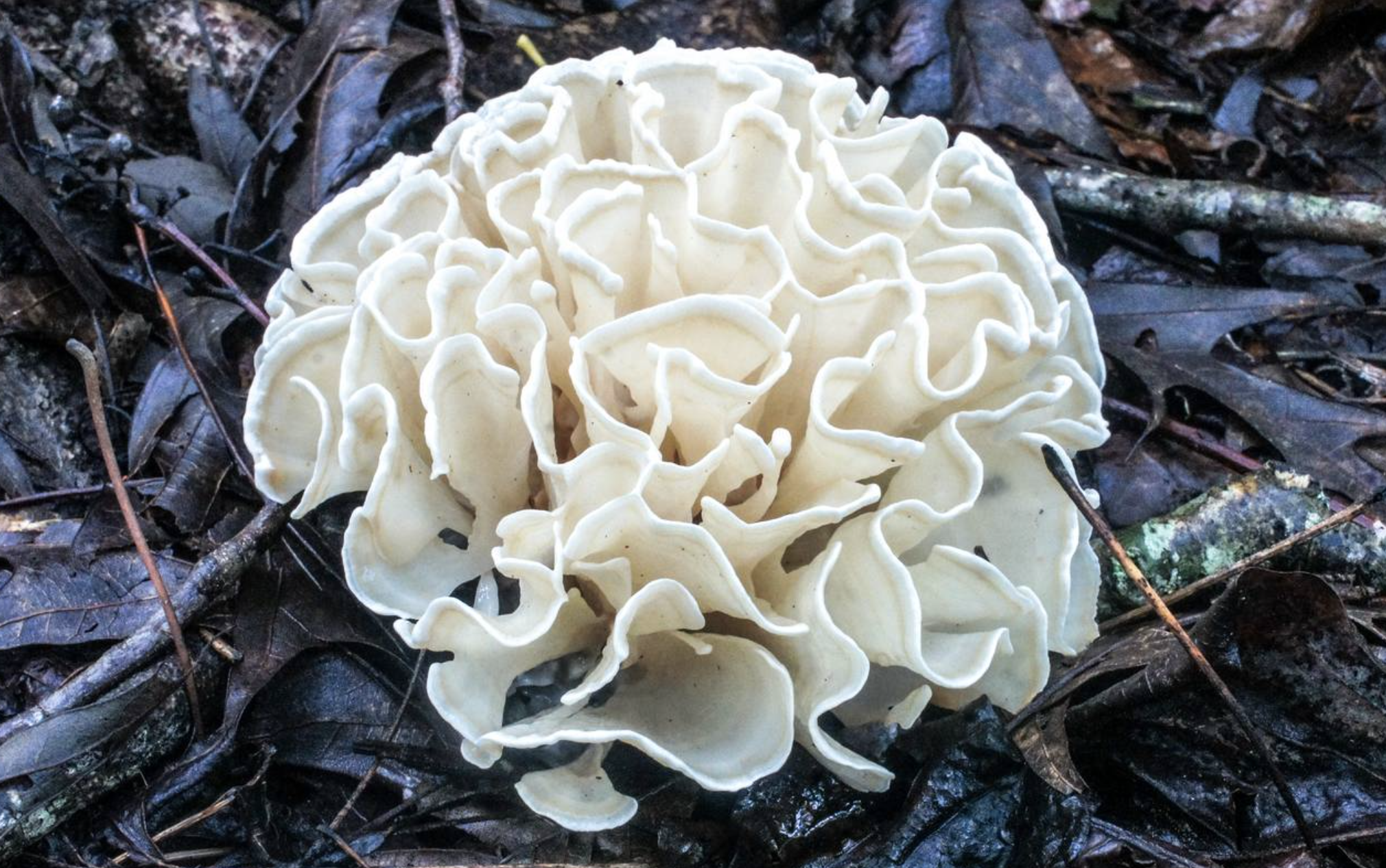 The closely related  Sparassis spathulata  found in Georgia by  Bill Sheehan .