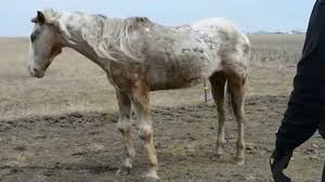 This horse is being round up to be sent to slaughter because no one bid on him. He had no home to go to. Our Sanctuary will help stop sending them to slaughter. We appreciate your help!    DONATE