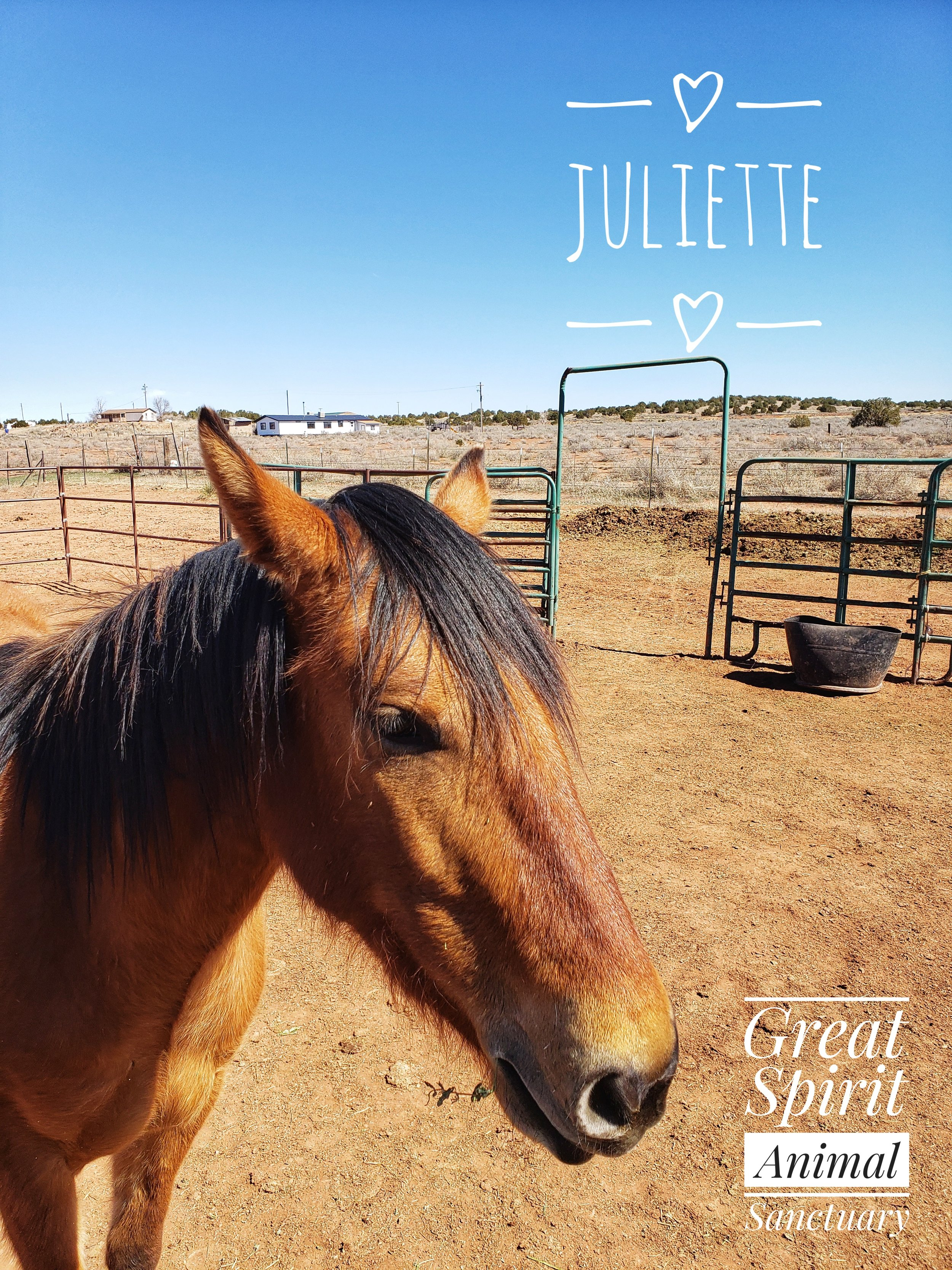 Juliette's Story - Juliette is a youngster yet at approximately 2 years old. Juliette was being ridden daily for rides. Due to the over excessiveness of being ridden at a very young age, she has developed bone on bone injuries to her legs. Juliette can no longer ever be ridden.Juliette has found a permanent home for the remaining years of her life at Great Spirit Animal Sanctuary. She never has to worry about being abused again. Juliette arrived at the Sanctuary on Thanksgiving in 2018.Juliette is hoping that you become one of her monthly sponsors today. Her sponsors help pay her medical and feed costs.