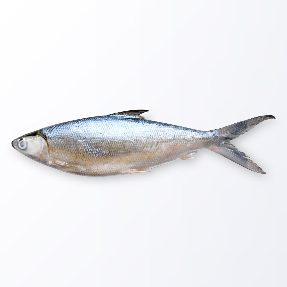 MIL105-Milkfish.jpg